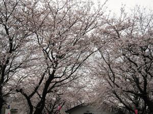 Sakura2013
